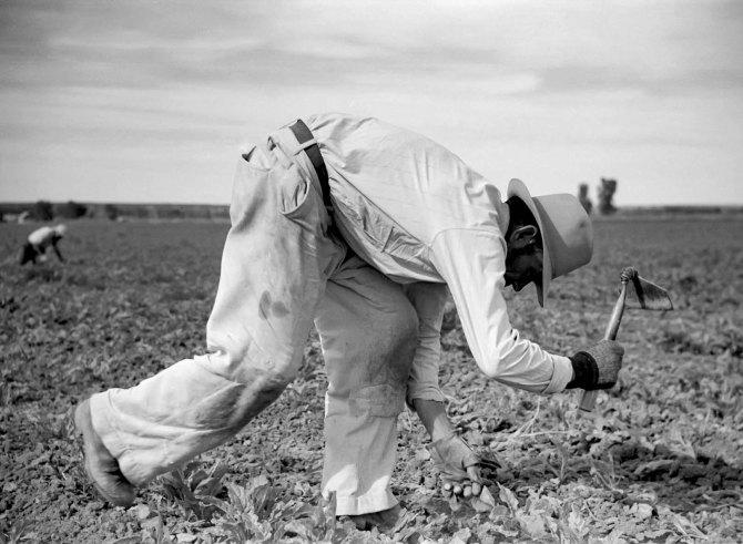 Chopping (thinning) sugar beets. Treasure County, Montana. 1939.