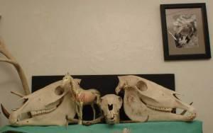 Horse skulls colt stallion mare