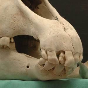 Horse wolf teeth anatomy
