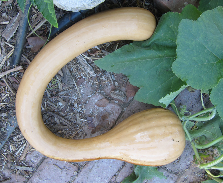 What Does Tromboncino Squash Taste Like  Root Simple