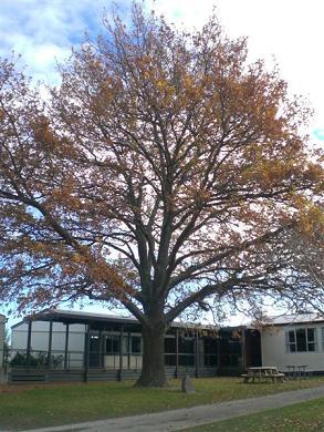 Lovelocks' Hitler Oak