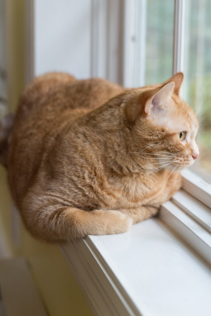 Apollo Orange Kitty at the Window | http://www.roseclearfield.com