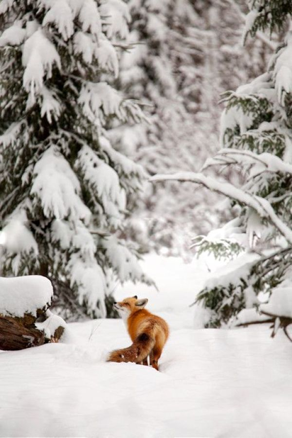 Winter Photography Inspiration - Fox in the Snow | https://www.roseclearfield.com