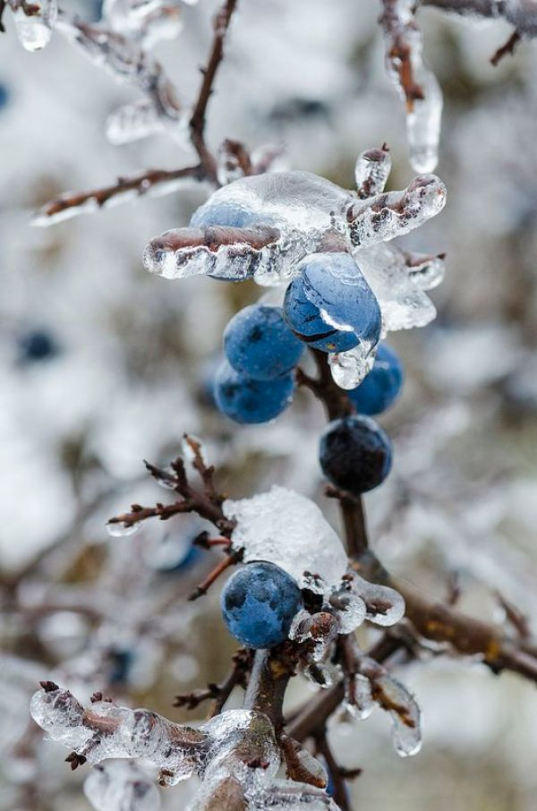 Winter Photography Inspiration - Winter Berries   http://www.roseclearfield.com