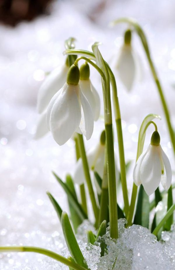Early Spring Inspiration - David Beaulieu Snowdrops | http://www.roseclearfield.com