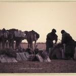Sahara Desert: men load slabs of salt on the camels