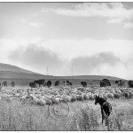 herd of cattle, sheep and horses on the move to Azerbaijan border