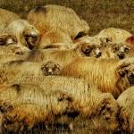 Tsurcana sheep group portrait