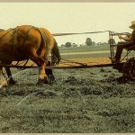 Amish boy rakes hay with a team of Belgian horses