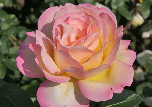 Rosen  Rosen online kaufen im Rosenhof Schultheis