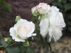 Rose im Kübel