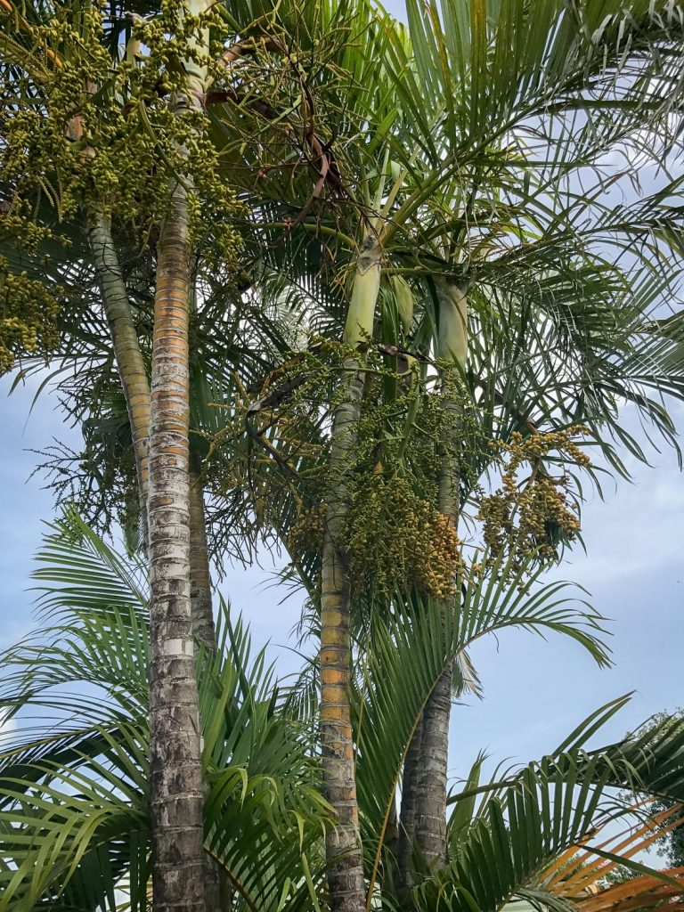 date_tree_Guadeloupe_France