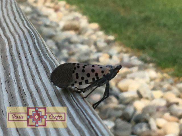 Rosie Crafts Spotted Lanternfly Photography