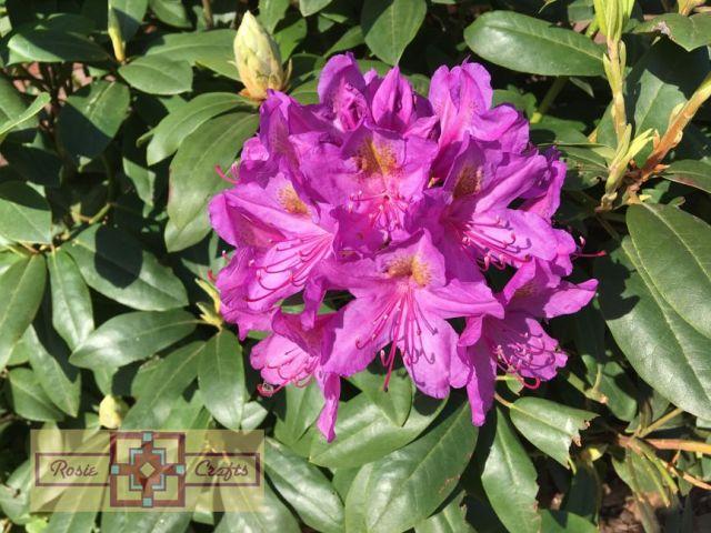Rosie Crafts Purple Flower Bush Photography