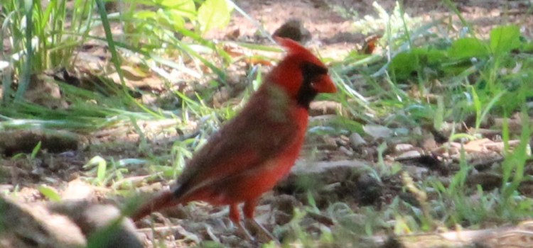 Rosie Crafts Male Red Cardinal Photography