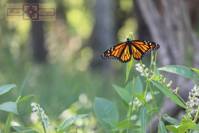 Rosie Crafts Monarch Butterfly Photography