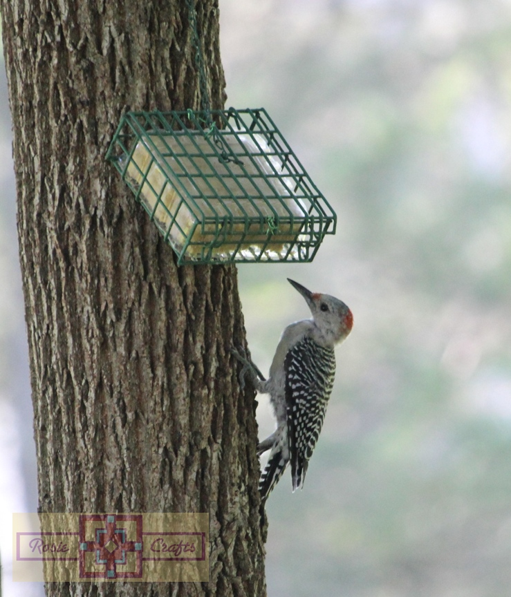 Rosie Crafts Juvenile Female Red Bellied Woodpecker Photography