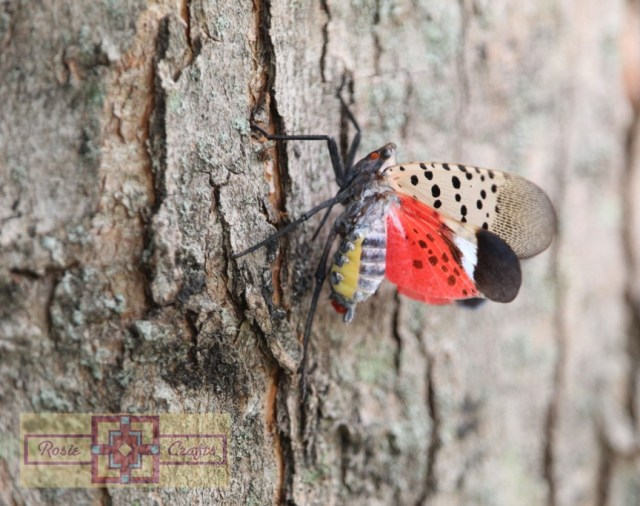 Rosie Crafts Spotted Lanternfly (Side) Photography
