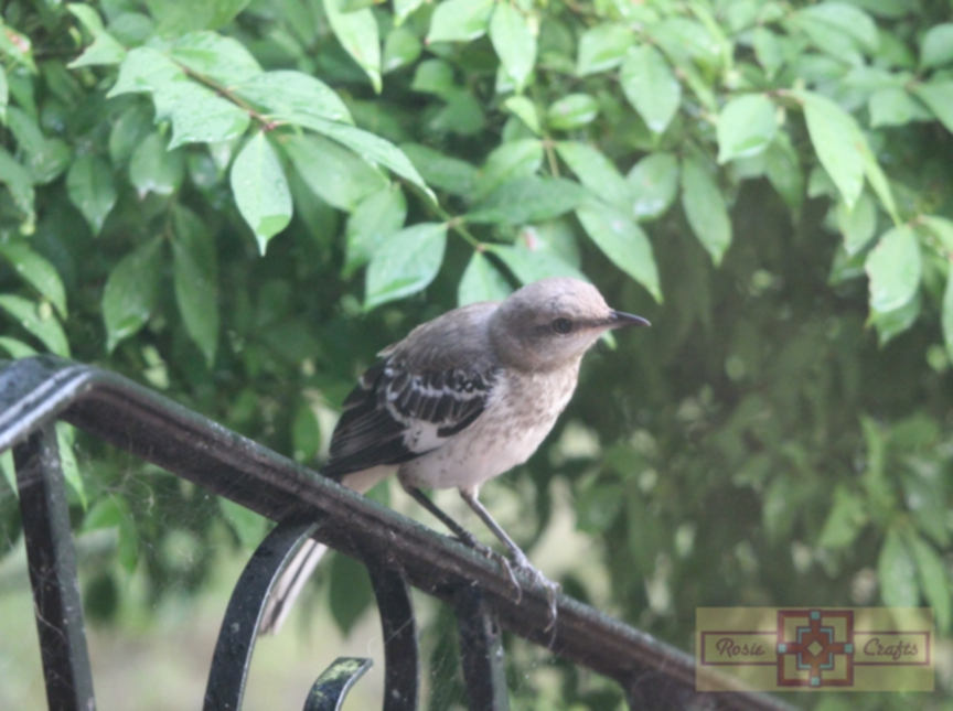 Rosie Crafts Great American Mockingbird Photography
