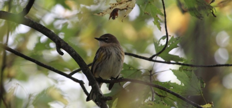 Rosie Crafts Yellow Rumped Warbler Bird Photography