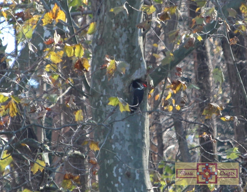 Rosie Crafts Pileated Woodpecker Photography