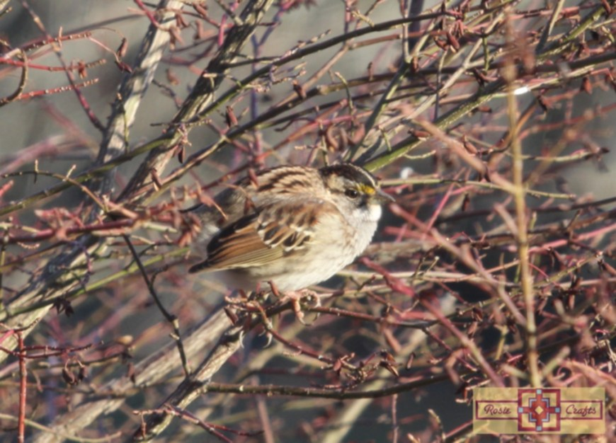 Rosie Crafts White Throated Sparrow Perched In Berry Bush Photography