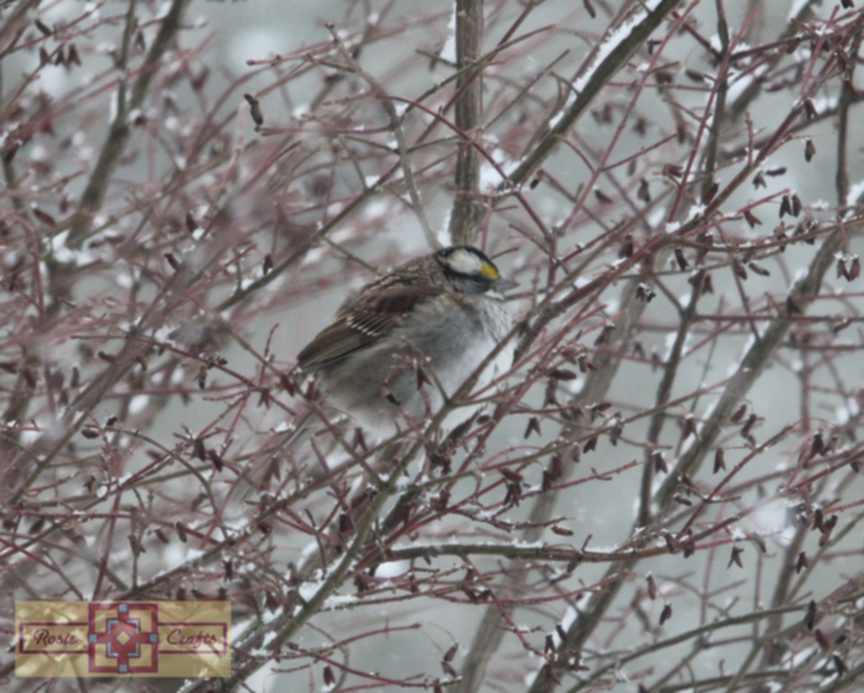 Rosie Crafts White Throated Sparrow Perched On Snowy White Berry Bush Photography