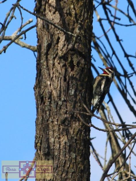 Rosie Crafts Red Bellied Sap Sucker Woodpecker Photography