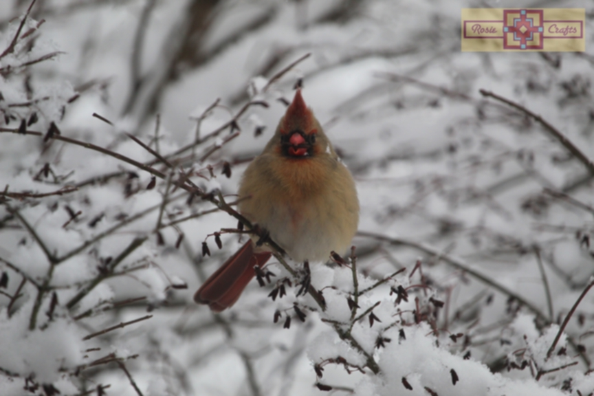 Rosie Crafts Female Cardinal Eating Perched on Winter White Snowy Berry Bush Photography