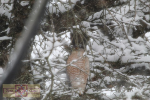 Rosie Crafts Sharp Shinned Hawk Perched In Pine Tree Photography