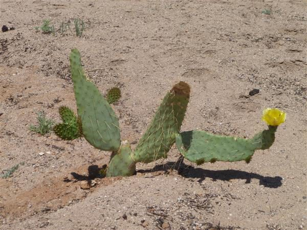 Blooming cow's-tongue prickly pear