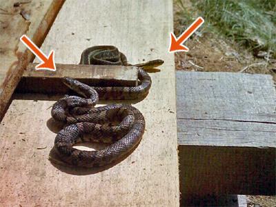 Dave Cummings' mystery snake(s)