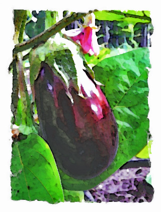 Eggplant and Blossom, Rosslyn Gardens