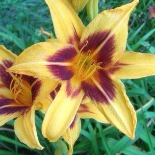 Honey and burgundy among Rosslyn's day lily blossoms.
