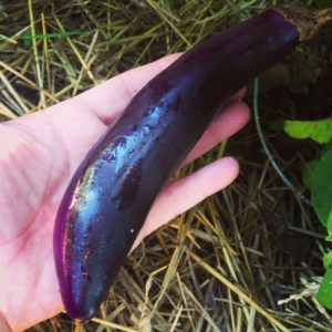 These slender, curving Asian eggplants are beautiful and delicious on the grill or in stews.