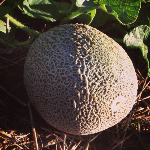 We're enjoying a heavy melon crop including cantaloupe, musk melon and watermelon.