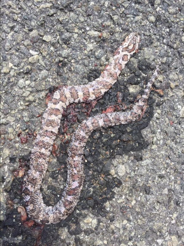 Is this unfortunate snake spotted on Willsboro point at the end of July 2015 an anerythristic corn snake?