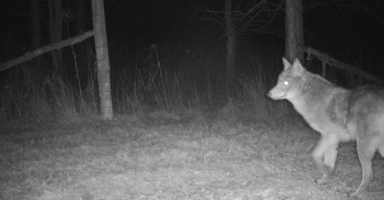 Coyote Captured on Camera, January 2017 (Source: Trail Camera Photo by Geo Davis)