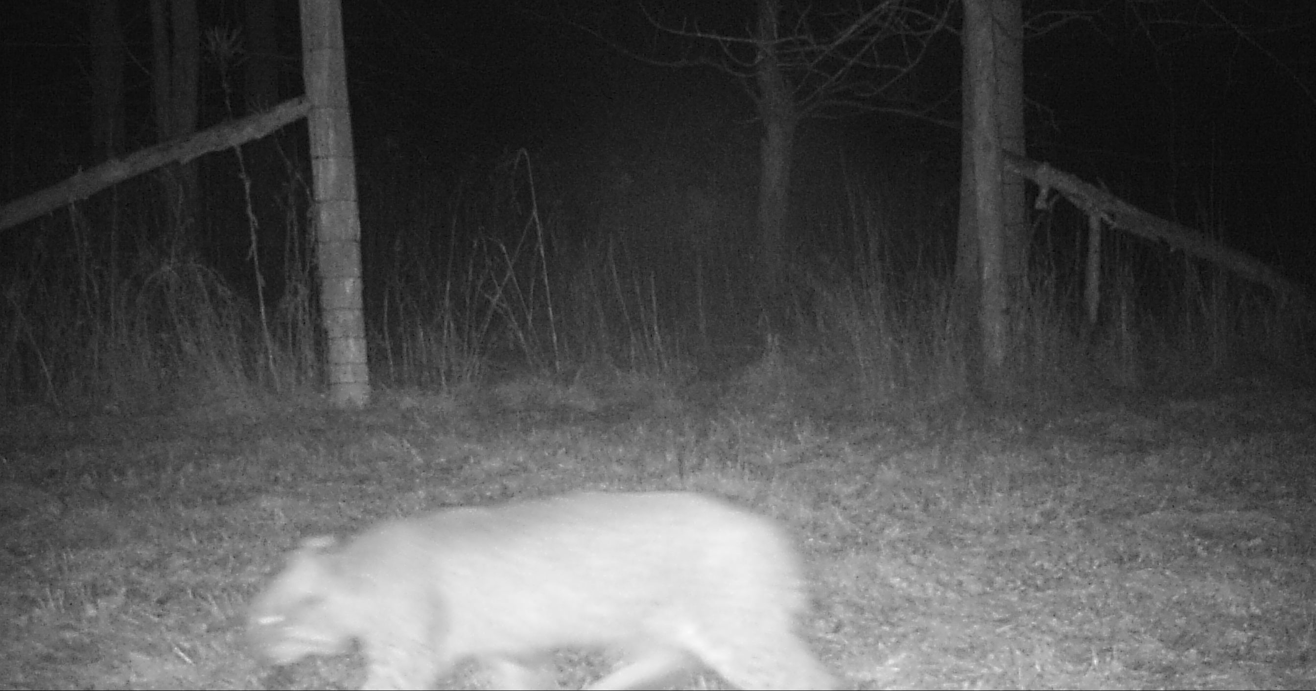 Bobcat Photo from Essex Trail Cam, January 2017 (Source: Rosslyn Redux)