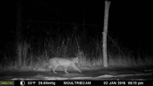 Bobcat Sighting (January 2, 2016)