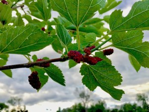 Holistic Orcharding: Mulberry fruit ripening in June (Source: Geo Davis)