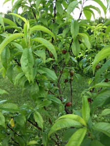 Holistic Orcharding: Young nectarines in June (Source: Geo Davis)