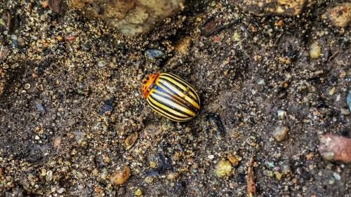 Colorado Potato Beetle (Source: Geo Davis)