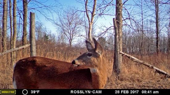 Spring Dance: deer crossing trail camera during spring 2017 (Source: Geo Davis)