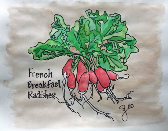 French Breakfast Radish watercolor / doodle by Geo Davis.