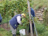 Die Trauben werden in Handarbeit von den Rebstöcken gelesen