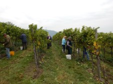 Die fleißigen Leser der Weingärtnerei Frischengruber