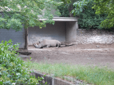 Zoo Berlin - Nashorn