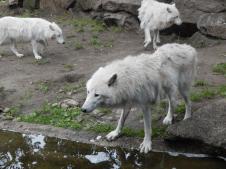 Zoo Berlin - Polar Wölfe