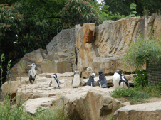Zoo Berlin - Pinguine